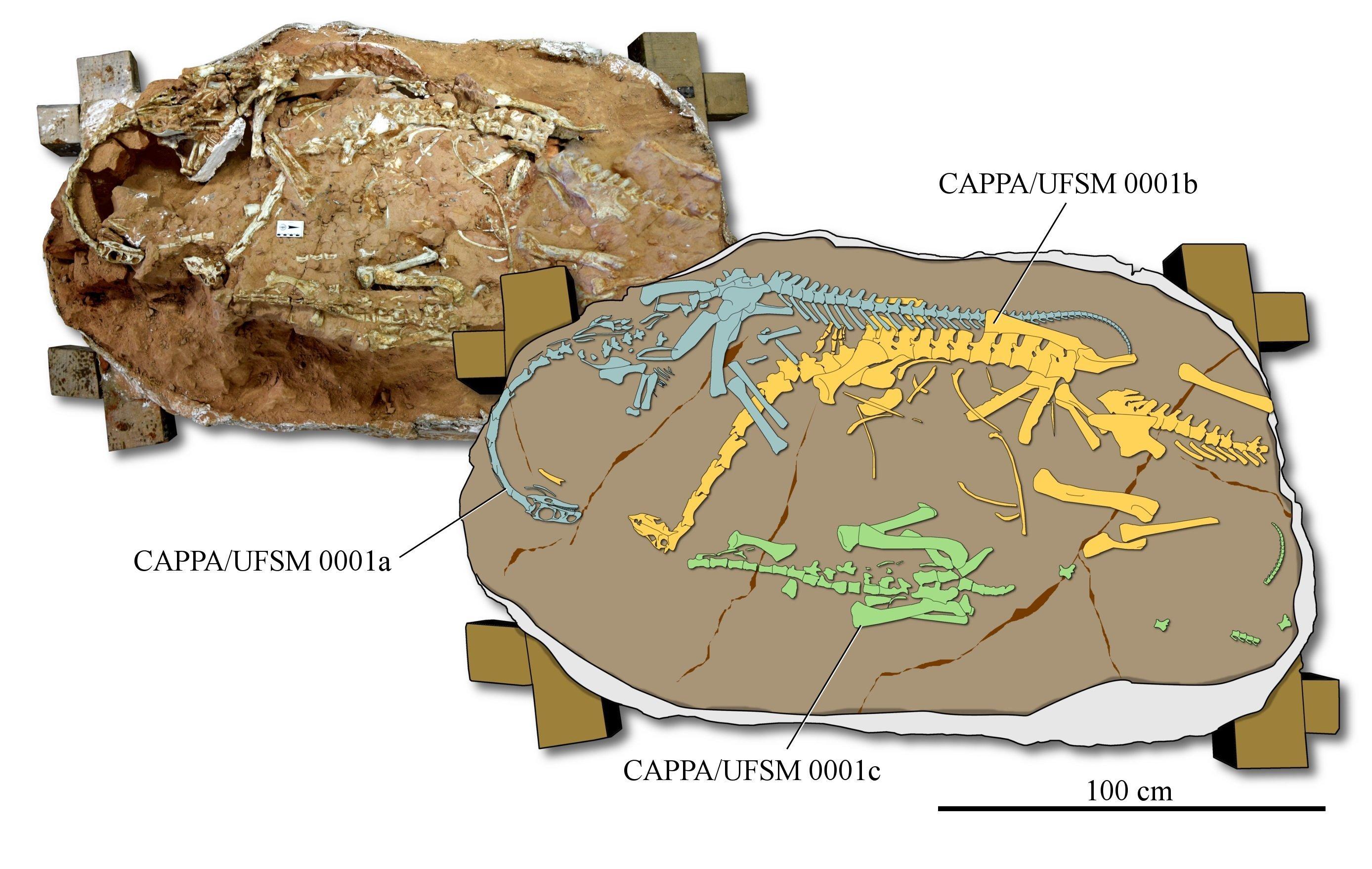 Macrocollum itaquii, ossements fossiles d'une espèce de dinosaure jusqu'alors inconnue
