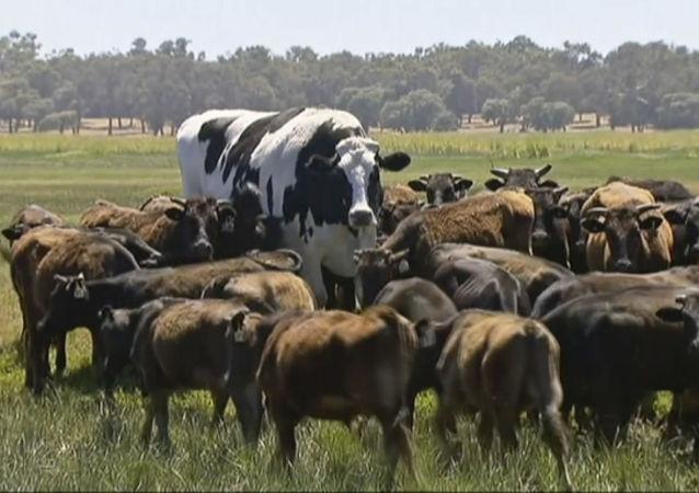 Une vache sacrée: un taureau de deux mètres ne deviendra pas un burger grâce à son taille gigantesque