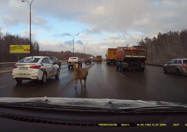 Un mouton a failli provoquer un embouteillage sur le périphérique de Moscou