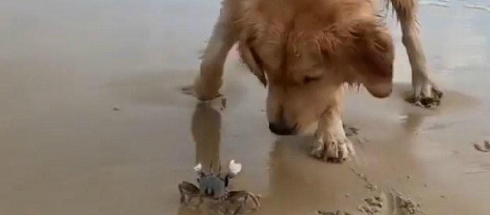Un golden retriever curieux cherche à devenir l'ami d'un crabe