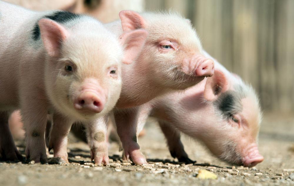 Cette année sera favorable et offrira d'excellentes perspectives. Sur la photo: des cochons nains au zoo de Hanovre, en Allemagne
