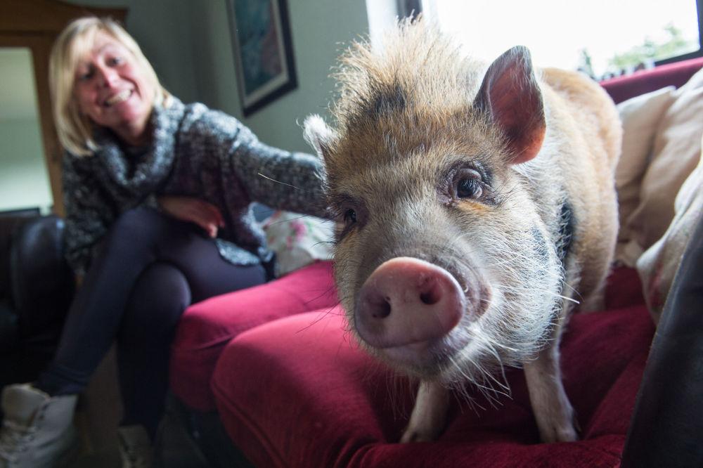 Le cochon nain Pepper avec sa maîtresse à Limbach, en Allemagne