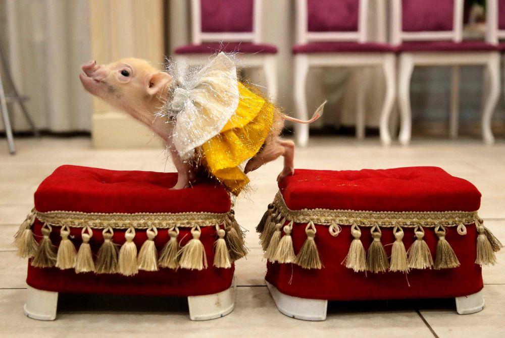 Les mariages contractés pendant l'année du Cochon seront heureux. Sur la photo: un cochon nain, aussi appelé cochon miniature, lors d'une présentation dans la ville de Balachikha, dans les environs de Moscou