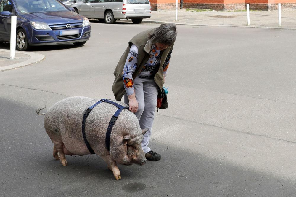 L'année du Cochon sera celle de l'essor des sciences et de la recherche. Sur la photo: une femme avec son cochon domestique traverse un carrefour dans le centre de Berlin, Allemagne