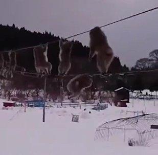 Des singes des neiges font des prouesses