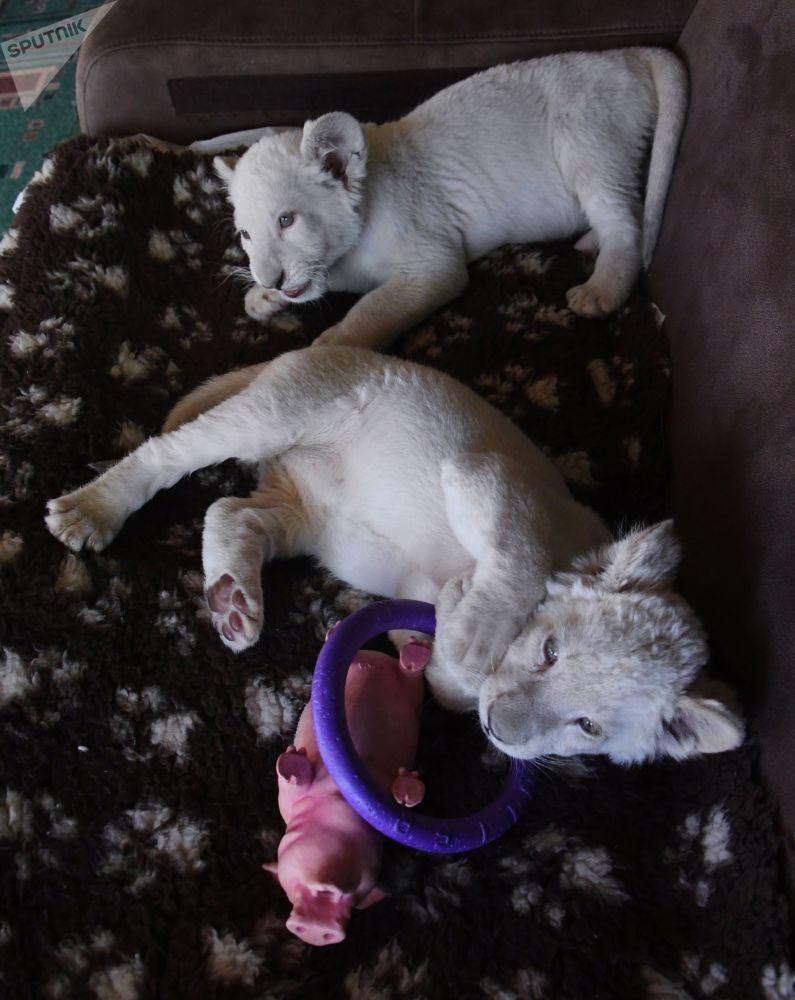 Des lionceaux blancs d'Afrique au zoo de Vladivostok