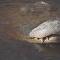 Si vous n'avez pas assez froid, regardez ces alligators! Ils ont été bloqués par la glace