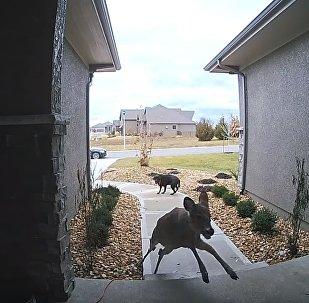 Ce chien reste figé quand un cerf sprinte jusqu'à un porche et s'enfuit