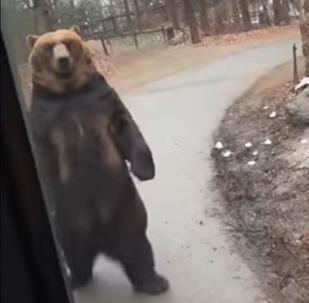 Un ours marche comme un humain à quelques centimètres de touristes ébahis