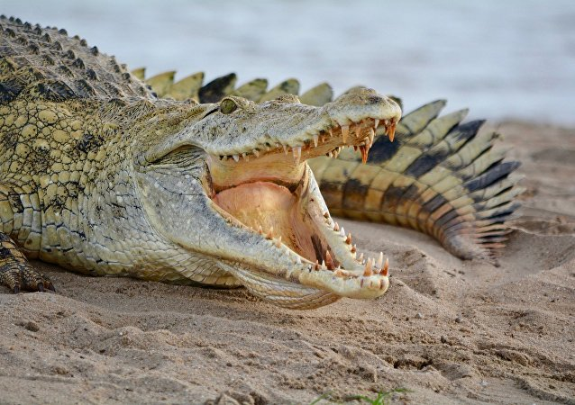 Crocodile, image d'illustration