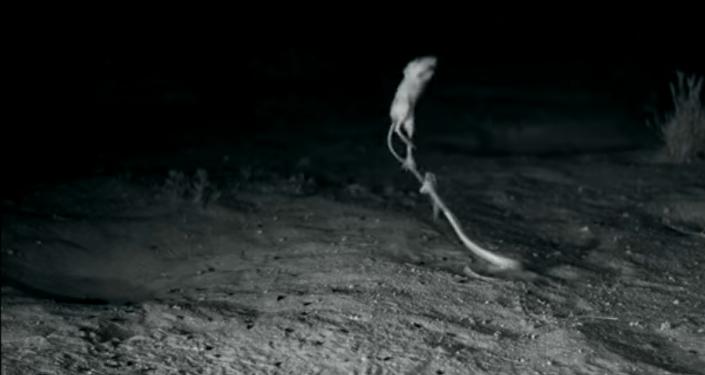 Un rongeur «ninja» réussit à échapper à un serpent