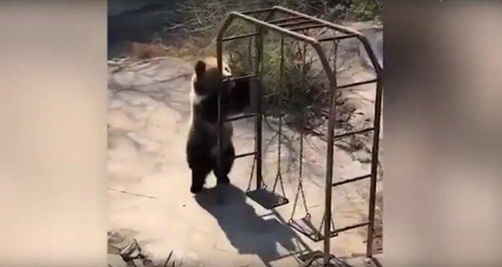 La danse endiablée d'un ours bleu du Tibet