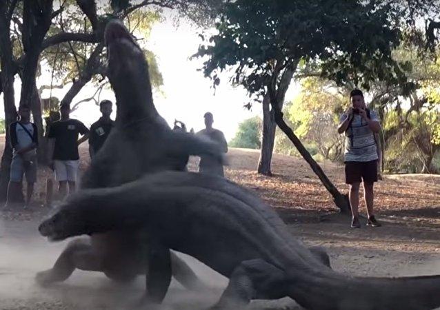 Deux dragons de Komodo s'affrontent dans un combat acharné