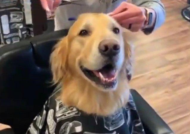 Rends-moi beau, humaine! Un golden retriever très heureux de sa visite chez le coiffeur