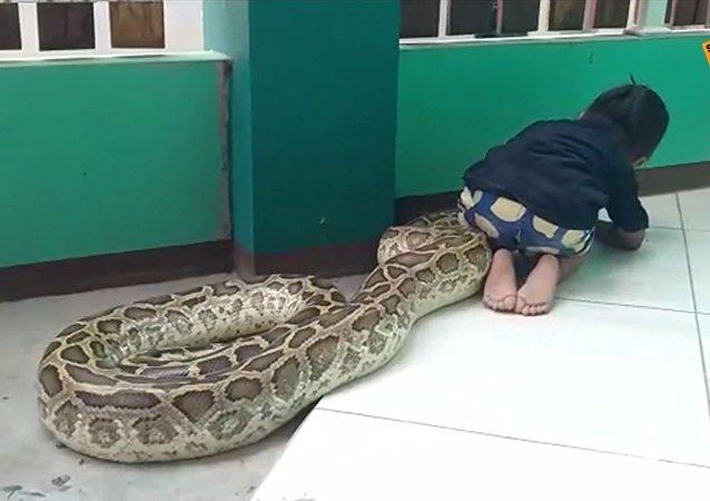 Une petite «conjuratrice» de reptiles brosse les crochets d'un gigantesque python