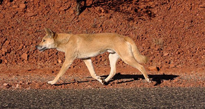 Un dingo, image d'illustration