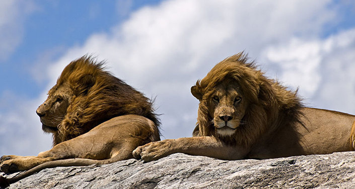 Lions on rock