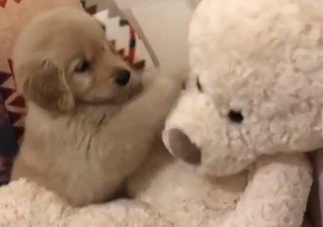Chien boxeur: lorsqu'un ours en peluche s'avère être un adversaire idéal