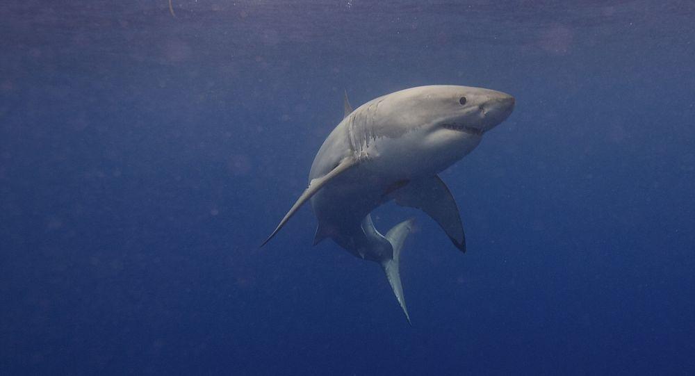 Un grand requin blanc tente de détruire un bateau de pêche puis le prend en chasse - photos