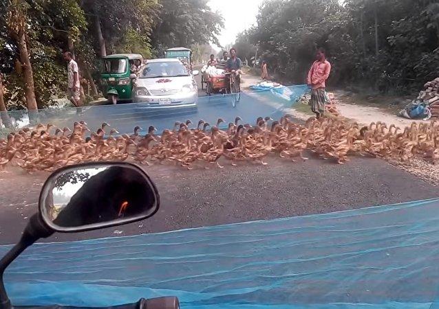 Waiting at the Crosswalk for a Flock    ViralHog