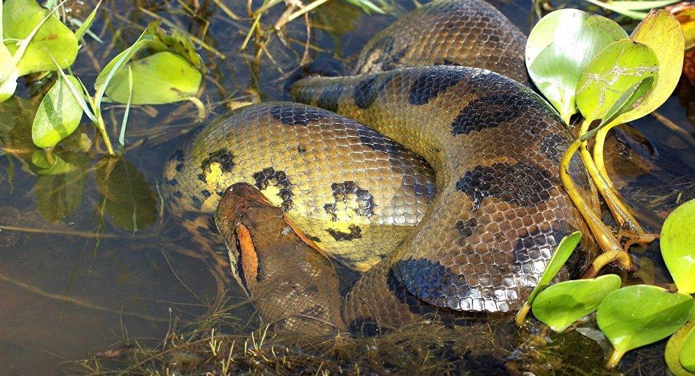 un anaconda, image d'illustration