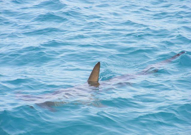 Un requin de poche