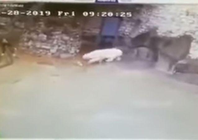 Nettoyage à la russe: une employée du Zoo de Moscou arrête un ours blanc grâce à son balai