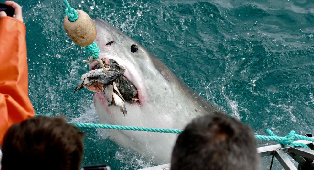 Des robots-animaux filment la chasse à couper le souffle d'un grand requin blanc - vidéo