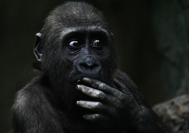 Сhimpanzé