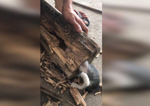 Opération de sauvetage d'un chaton qui s'est retrouvé coincé dans un tronc