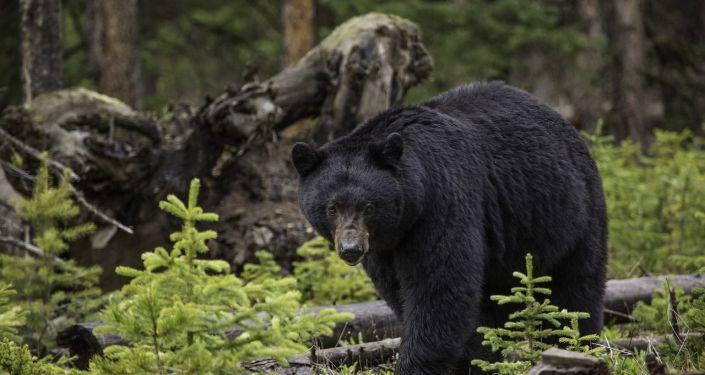 Un ours (image d'illustration)