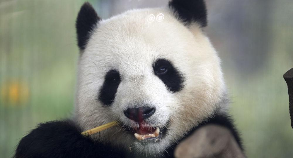 Des pandas jumeaux naissent dans le zoo de Berlin - vidéo