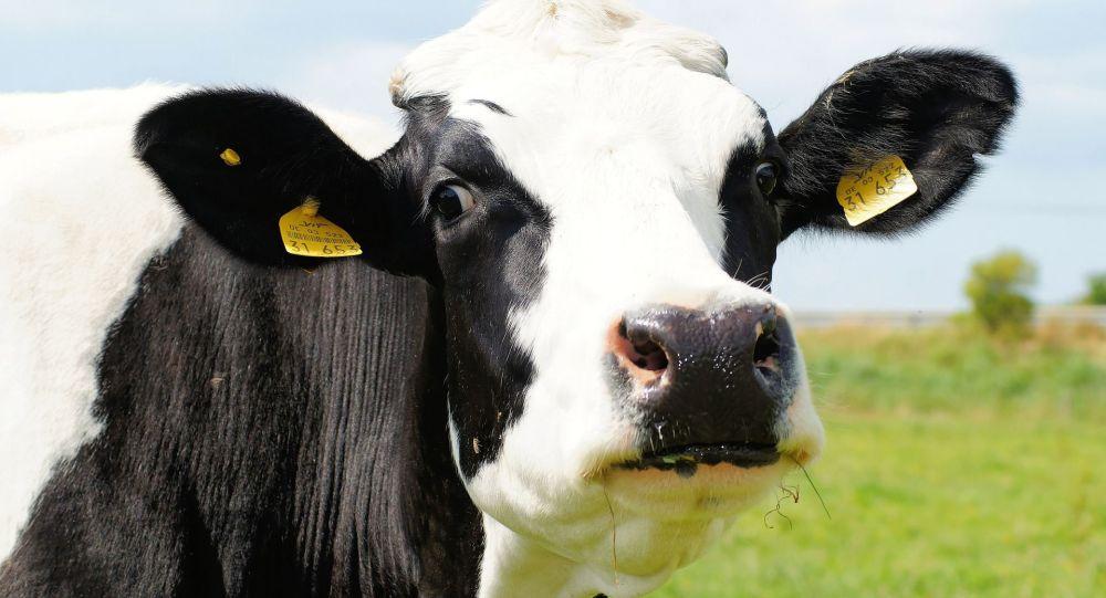 Une vache (image d'illustration)