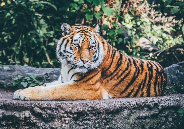 un tigre (image d'illustration)