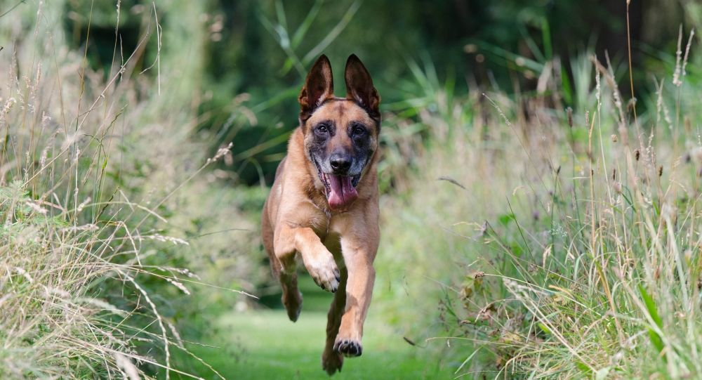 un malinois (image d'illustration)