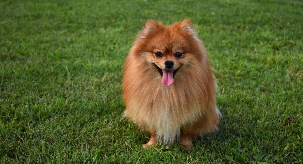 Comment va le chien de Hong Kong testé positif au coronavirus?