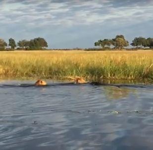 Un lion intervient pour sauver son petit frère d'un prédateur plus dangereux