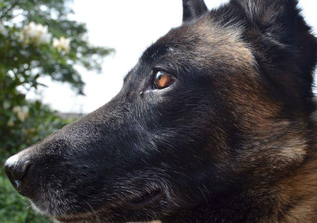 un chien de race berger malinois