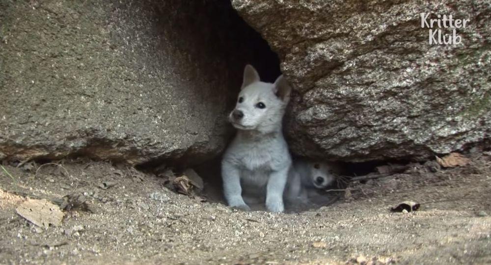 Le sauvetage de chiots qui vivaient dans des conditions déplorables dans la fente d'un rocher