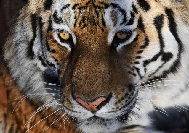 tigre (image d'illustration)