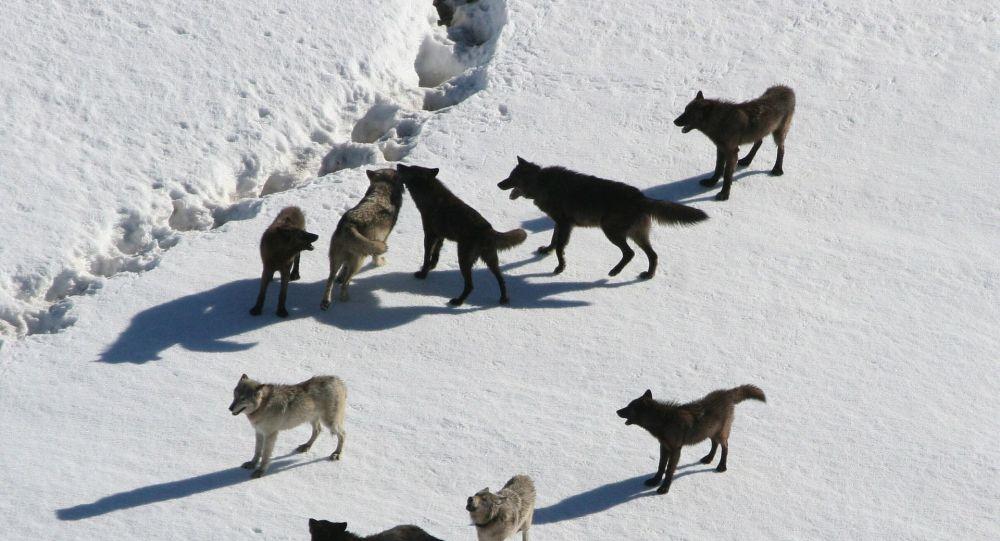 Un chien se lance dans une bataille mortelle contre des loups pour sauver son ami - vidéo choc