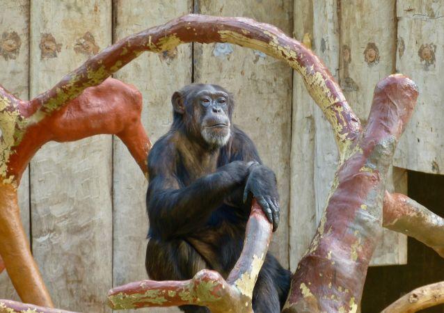 Un singe au zoo de Krefeld (archive photo)