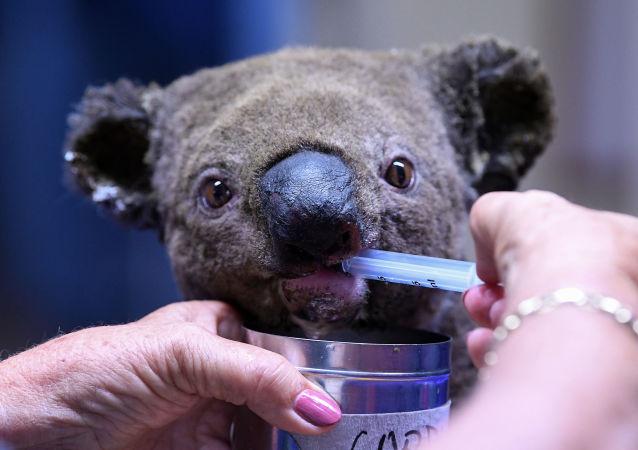 Un koala blessé et déshydraté reçoit des soins après avoir été sauvé d'un feu de brousse, novembre 2019