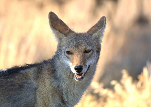 Un koyote