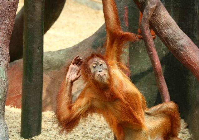 Un orang-outan (image d'illustration)