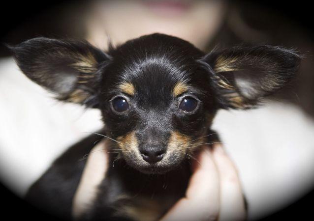 Un petit chien russe, également appelé Russkiy Toy