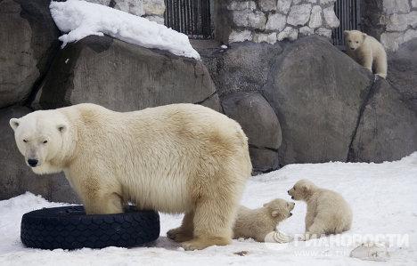 Новорожденные белые медвежата в Московском зоопарке