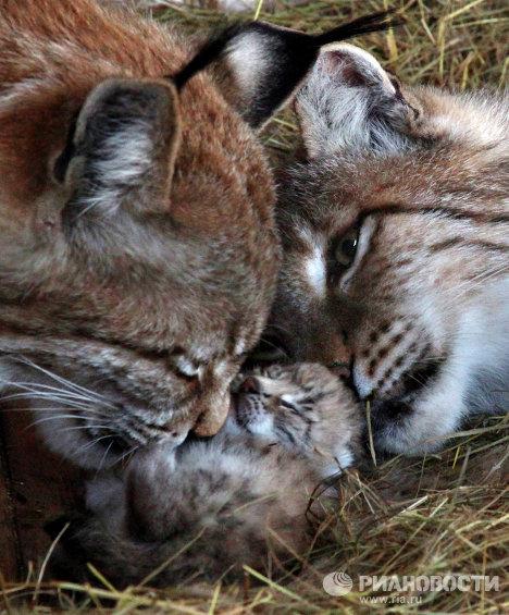Детеныши рыси появились на свет во владивостокском зоопарке