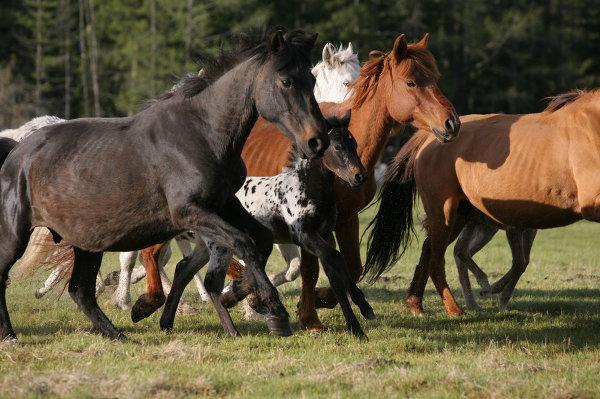 Разведение лошадей в Улаганском районе республики Алтай
