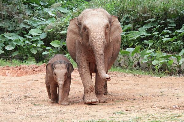 Слоны в ChimeLong Safari Park в Китае